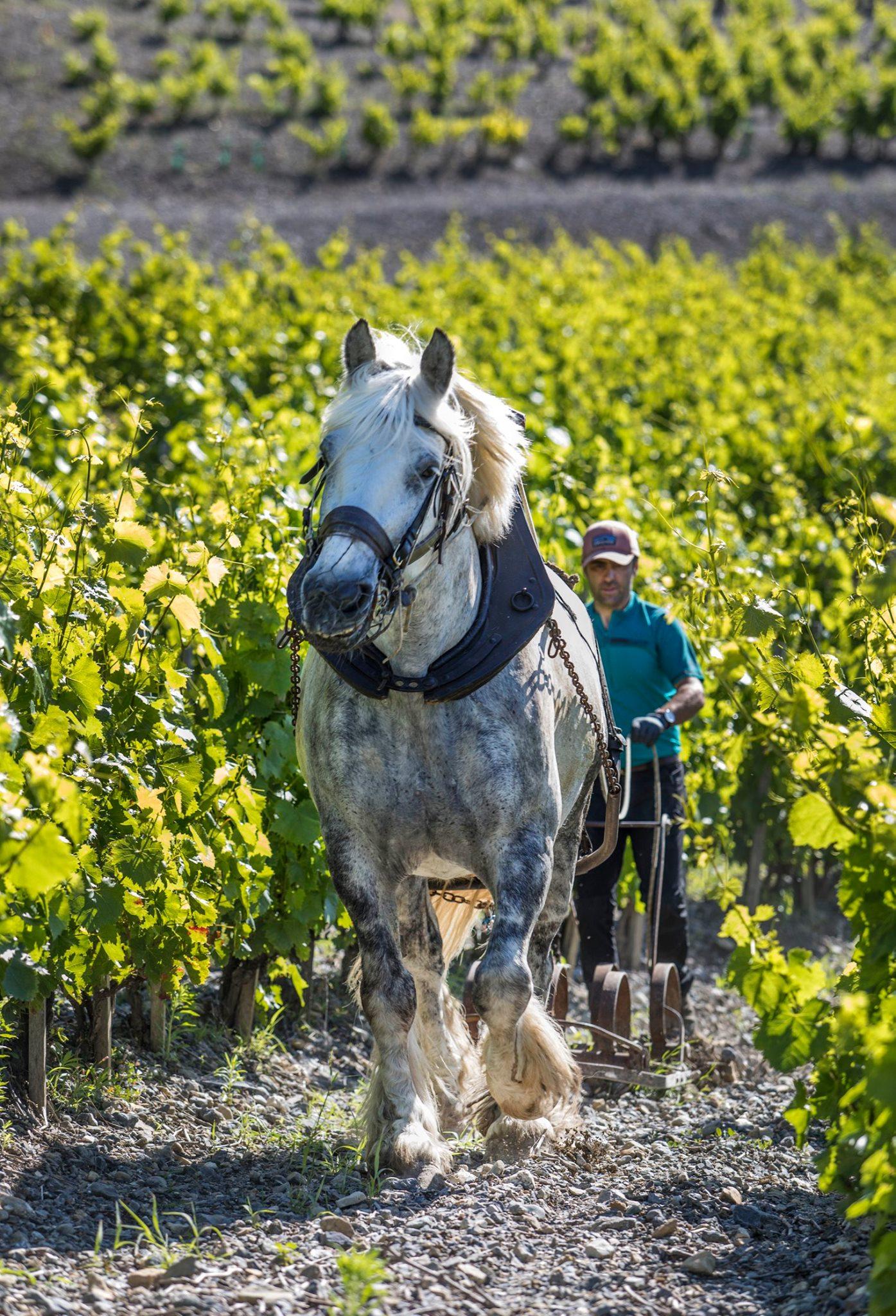 démonstration cheval en vigne